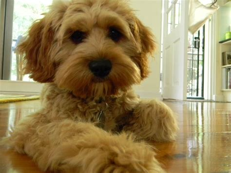 Do Cavachons Shed by