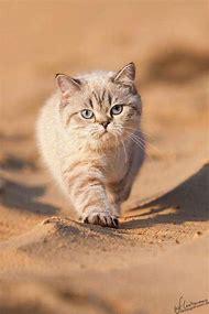 British Shorthair Munchkin Cat