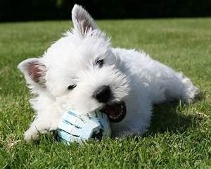 West Highland White Terrier with ball photo and wallpaper ...