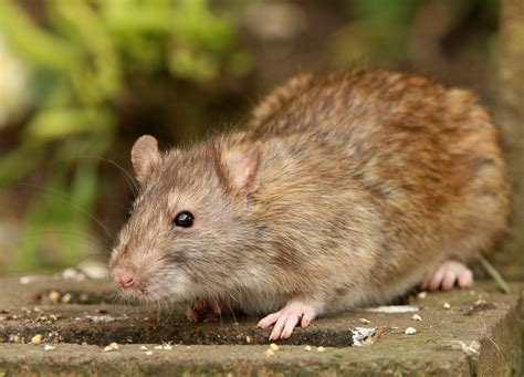 How To Close A Rat Hole In A Garden