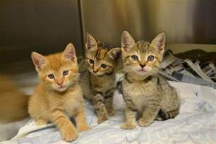 temporary foster care for cats humane society in desperate need of foster homes for