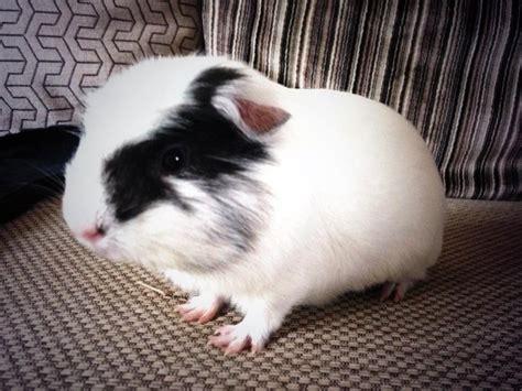 energetic black  white guinea pig  bundle