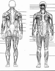Muscular System Without Labels   Muscular System Without