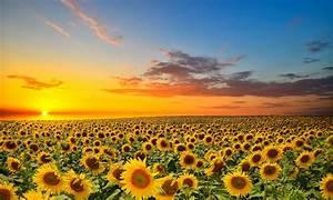 Sunset Over Sunflowers Field Wallpaper 2560x1600