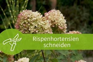 Pflanzen Schneiden Kalender : rispenhortensien schneiden r ckschnitte ohne risiko ~ Orissabook.com Haus und Dekorationen