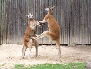 File:- fighting red kangaroos 2.jpg - Wikimedia Commons