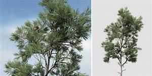 Eastern White Pine Sapling - SpeedTree
