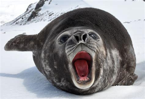 elephant seals san simeon  news icon