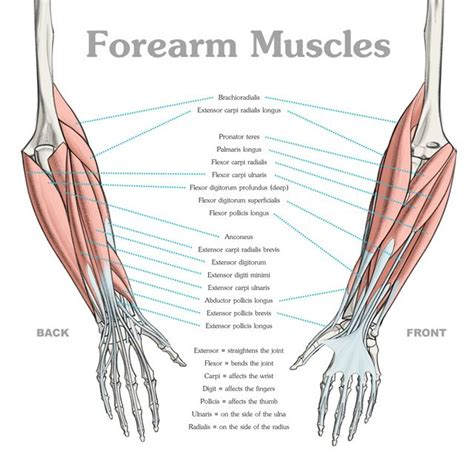 Naming skeletal muscles according to a number of criteria: Oops This Content is Blocked - Anatomy Course | Human ...