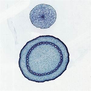 Monocot And Dicot Roots  C S   12  U00b5m Microscope Slide
