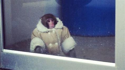 Shearling Coat-wearing Monkey Found Wandering Around