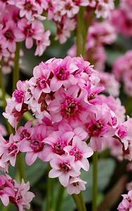 Große Zimmerpflanzen Pflegeleicht : diese zimmerpflanzen sind schattig und pflegeleicht bergenia pinterest zimmerpflanzen ~ Markanthonyermac.com Haus und Dekorationen