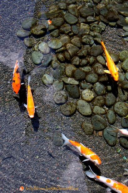 Koi Pond Fish Japanese Ponds Clear Water