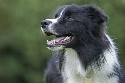 Diy Play Kitchen Ideas - border collie dog breed profile