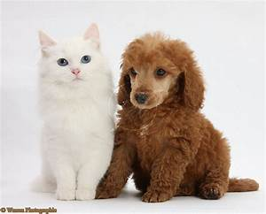 Cute Puppy Dogs: Poodle Puppies