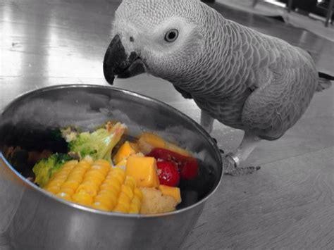 african grey parrots diet feeding african grey parrot