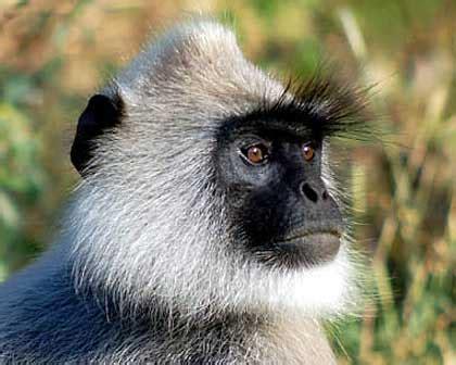 tibet animal pictures  facts factzoocom