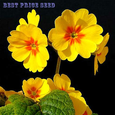 2016 sale 50 seeds ᐊ multicolor multicolor primula flower seed seed for home garden bonsai