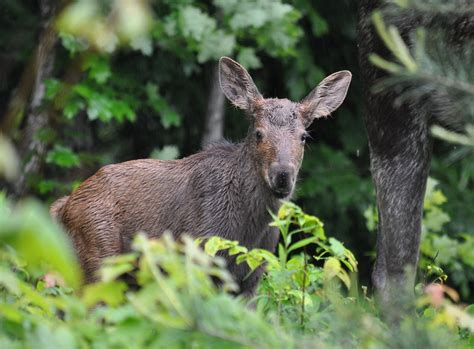 A Baby Moose With Its Mother In Algonquin Park
