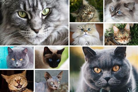 die  beliebtesten katzenrassen mit bild und
