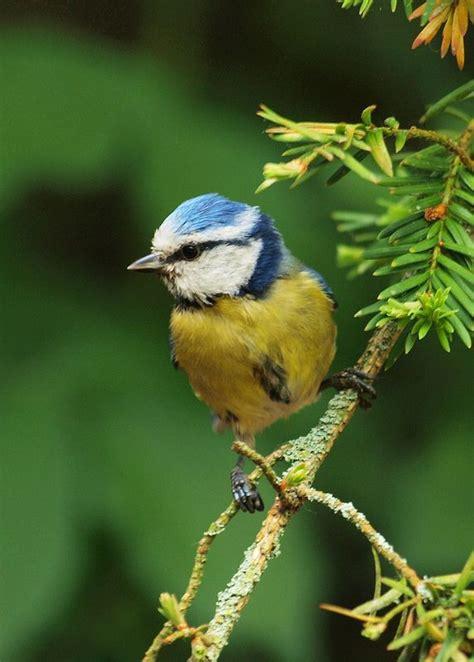 1043 Best Blue Tit's Images On Pinterest  Little Birds