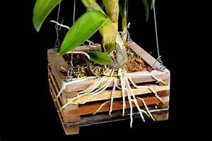 Luftwurzeln Bei Orchideen : orchideen aufbinden geignet f r orchideen mit vielen luftwurzeln ~ Frokenaadalensverden.com Haus und Dekorationen