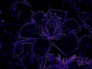 NEON PURPLE DARK LILY Flowers & Nature Background