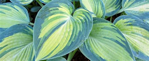 large hostas shade land of the giants hosta farm extraordinary hostas for your extraordinary shade garden