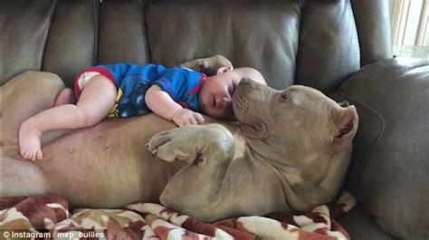 adorable video shows  moment american bulldog belle