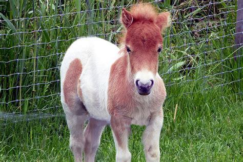 pony horse horses midget ponies mini poney dwarf shetland little