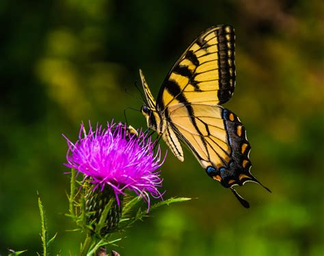butterfly thistle swallowtail