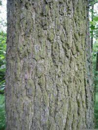Linde Baum Steckbrief : schwarz erle details baumbestimmung laubh lzer bestimmen alnus glutinosa ~ Orissabook.com Haus und Dekorationen