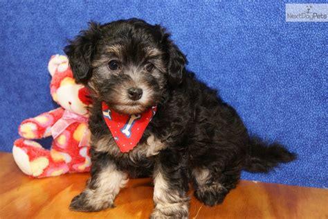 meet fifi  cute havapoo puppy  sale   adorable