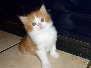 Ginger and White Fluffy Tom Kitten | Abergavenny ...
