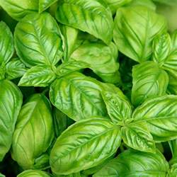 Large Leaf Italian Basil Plants