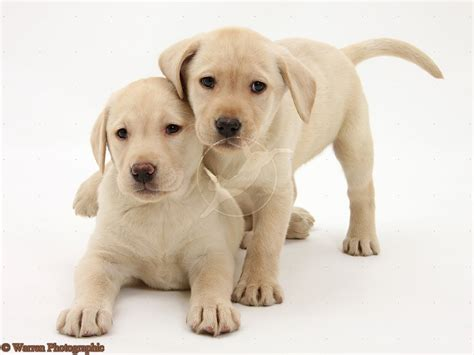 cute dogs golden labrador retrievers