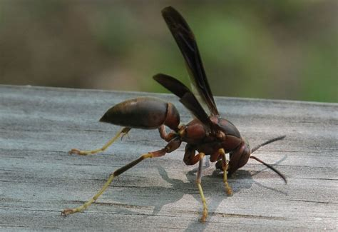 Paper Wasp Whats That Bug