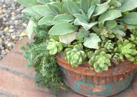 ear pot lambs ear in pot with sedum perennial potted plants pinterest lambs ear and pots