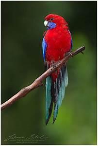 1000+ images about AUSTRALIAN PARROTS on Pinterest | Birds ...