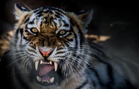 Beast Animal Wallpaper - animal tiger growling wallpaper 4630x2985 424262