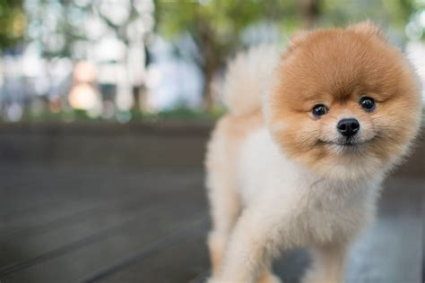 Pomeranian Dog Names | Popular Male and Female Names | Wag!