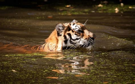 tiger swimming  dirty water wild animals