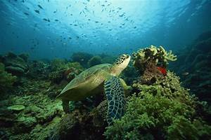 Green Sea Turtles Habitat