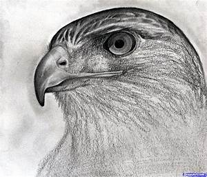 how to draw a hawk, red-tailed hawk step 15