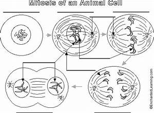 Animal Cell Mitosis Label Me  Printout