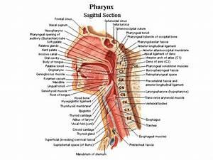 Neck And Throat Anatomy - Anatomy Human
