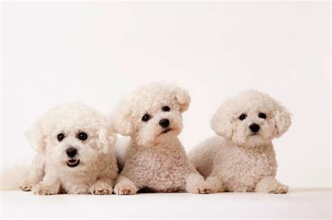hypoallergenic dog breeds now to love