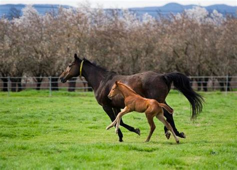horses baby thoroughbreds facts fun mothers foal mother autism its rose horse thoroughbred victory pasture research foals born ranch triggers