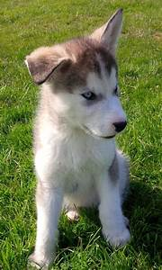 blue eyes rear grey siberian husky | Nottingham ...