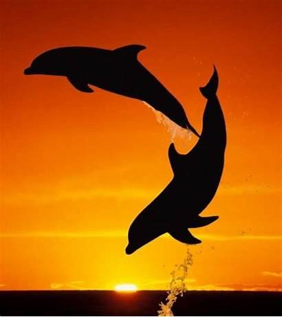 Sunset Dolphins Dolphin Bottlenose Animals Orange Bahamas